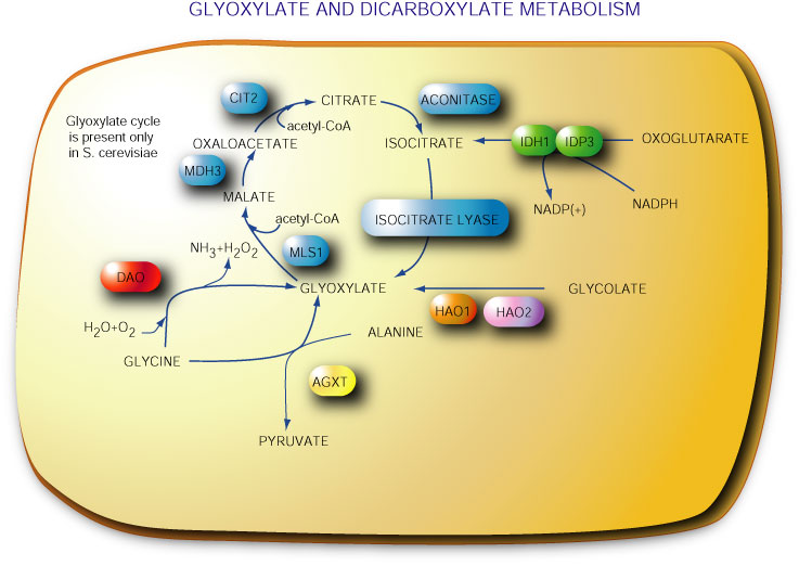Glyoxylate-and-dicarboxylate-metabolism.jpg