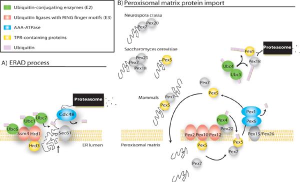 origin of endoplasmic reticulum